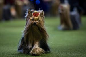 A Yorkshire Terrier runs during competition at the 141st Westminster Kennel Club Dog Show, February 13, 2017 in New York City. There are 2874 dogs entered in this show with a total entry of 2908 in 200 different breeds or varieties, including 23 obedience entries. (Photo by Drew Angerer/Getty Images)