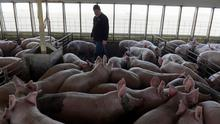 Hog farmer Mike Patterson, who has put his animals on a diet so they take longer to fatten up due to the supply chain disruptions caused by coronavirus disease (COVID-19) outbreaks, walks through one of his barns at his property in Kenyon, Minnesota, U.S. April 23, 2020. Picture taken April 23, 2020.  REUTERS/Nicholas Pfosi
