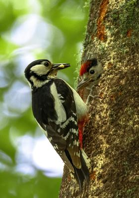 A great spotted woodpecker feeds its chick in Killruddery estate. Photo: John Murphy Photography
