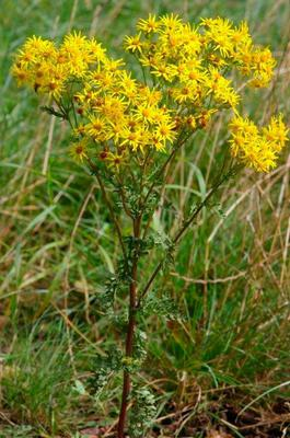STINKING WILLIE: Ragwort can be a serious threat to horses, causing cirrhosis