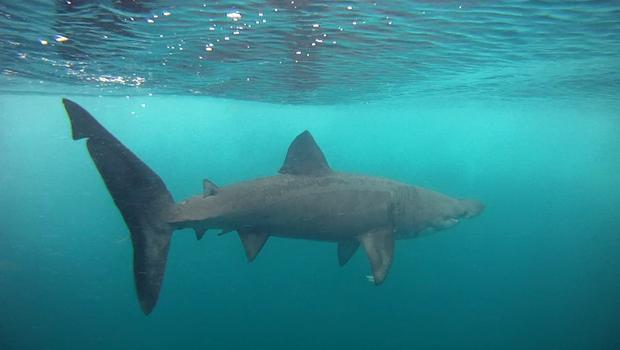 Juvenile basking shark, photographed off Malin Head. Pic: www.baskingshark.ie