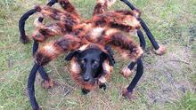 Dog is dressed up as a giant spider