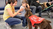 C.C, a nine-year-old Field Spaniel, at work in LAX.