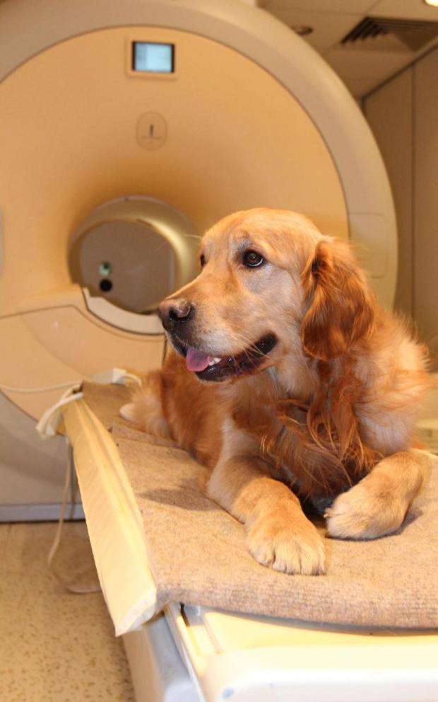 The reward centre in a dog's brain is only active when intonation and word meaning match up
