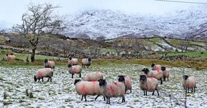 Sheep in icy conditions in the Maam Valley, north of Galway. Photo: PA