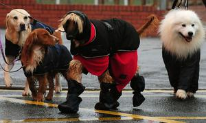 Dogs arriving for Crufts