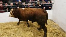 Castlerea Mart. Lot Number 1000, Weight 880Kg DOB 19/2/14. Breed SI. Bull. Price €1060 Photo Brian Farrell