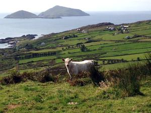 """Stunning image from a young calf's home at Caherdaniel, Co. Kerry,"" says reader Kathryn Hosey."