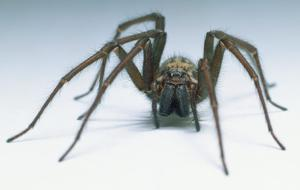 House spider, Tegenaria gigantea, detail of face and hairy legs, front view.