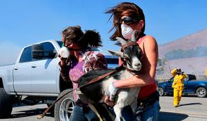 Laura Horvitz (R) and Robyn Phipps help rescue goats from a ranch near the Reagan Presidential Library in Simi Valley during the Easy Fire in Simi Valley, California on October 30, 2019. Photo by FREDERIC J. BROWN/AFP via Getty Images