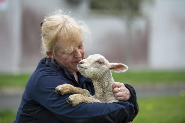 Pictured is Catherine Keating from Louth County Council's Animal Compound with the 3-4 week old lamb that was removed from a private house in County Louth by the councils veterinary section in the last week. Photo: Ciara Wilkinson