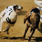 The Irish greyhound season hits top gear tonight as one of the feature events on the calendar, the Best Car Parks Gold Cup, kicks off at Shelbourne Park. (stock photo)
