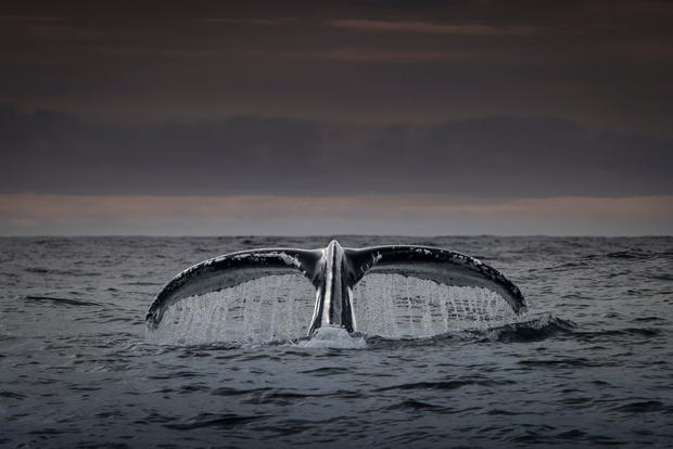 THE DEEP: A blue Whale dives in the North Atlantic