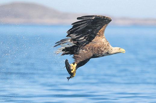 Of 100 white-tailed sea eagles released into the wild here since 2007, 26 are now dead