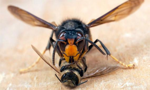 An Asian hornet feasts on a honey bee