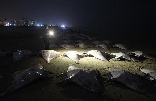 Over 200 dead Mobula Ray fish were washed up on a beach in Gaza City