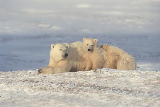 Polar bears can endure severe temperatures