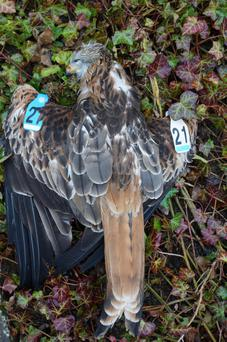 Photo issued by the Golden Eagle Trust of a young red kite that has died from poisoning in a similar manner to its mother. The bird, about 20 months old and nearing breeding age, was found lying almost dead in Wicklow town, close to the golf club and a public footpath and road.