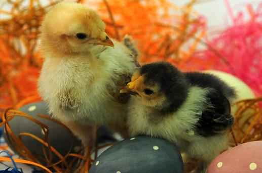Newly hatched chicks amongst decorative Easter eggs at Twycross Zoo in Leicestershire. PRESS ASSOCIATION Photo. Picture date: Tuesday March 26, 2013. Photo credit should read: Rui Vieira/PA Wire