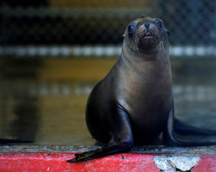 A rescued California sea lion is seen at the Pacific Marine Mammal Center in Laguna Beach, California