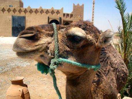 File picture of camel