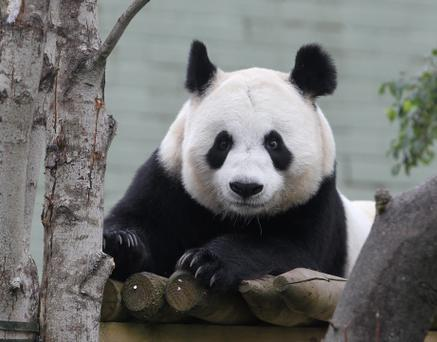 File photo female giant panda Tian Tian in her enclosure at Edinburgh Zoo