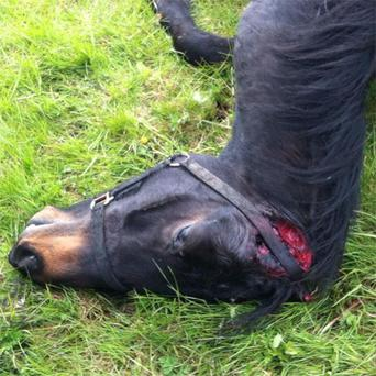 The horse was found dead, sliced open, and discarded in the Darndale Park area of Dublin on Wednesday.