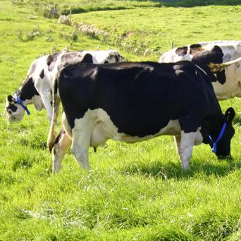 Cows wearing the MooMonitor fertility device