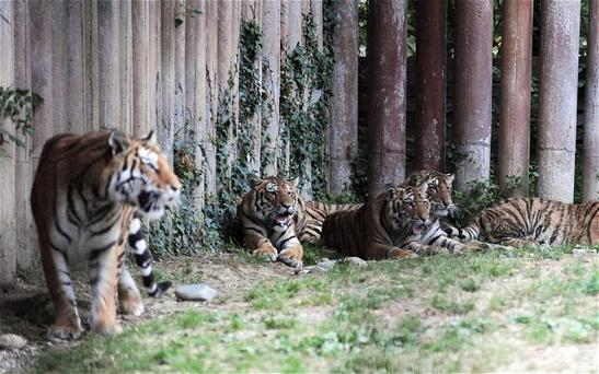 Tigers relax in their enclosure at the private park in Pinerolo near Turin