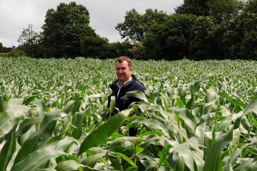 Giant crop: Owen Jordan, Bagenalstown, Co Carlow, with his 140cm tall Benica maize crop that was sown in April under punched plastic. It got 3,000gal/ac slurry and 18:6:12, a Calaris and Stopm herbicide