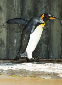 Missy the king penguin who lives in Birdland, at Bourton on the Water, Gloucestershire