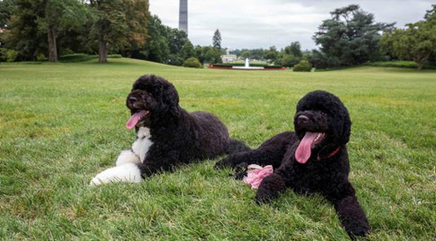 Bo, left, and Sunny, the Obama family's new puppy, on the South Lawn of the White House