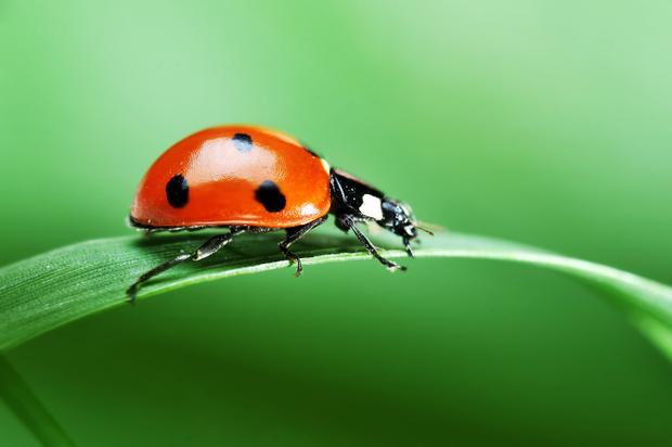 Ladybugs are under threat