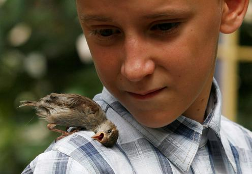 Vadim Veligurov, found and brought the lost female baby bird to his grandmother's house, where he was spending the summer vacation. The rescued sparrow, which was named Abi, didn't fly away and since then has spent most her time with Veligurov, who treats Abi as his friend and plans to take it with him to his native town.