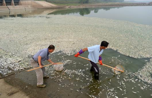 About 40 kilometers of Fuhe River was covered with dead fish and most of them are 40 to 50 cm long