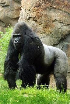 This undated photo provided by the Dallas Zoo shows Patrick. The Dallas Zoo on Monday announced they planned transfer the anti-social gorilla to the Riverbanks Zoo and Garden in Columbia, S.C. for a more solitary existence. His response to female gorillas ranged from indifference to aggression.