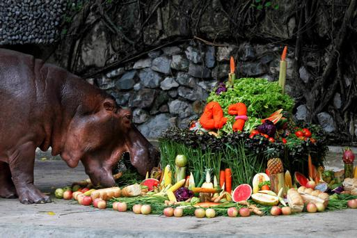 """A female hippopotamus named """"Mali"""", which means Jasmine, eats fruits arranged to look like a cake during her 47th birthday celebration at Dusit Zoo in Bangkok September 27, 2013. REUTERS/Chaiwat Subprasom (THAILAND - Tags: SOCIETY ANIMALS)"""