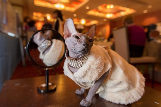 6 month old Lexi a Donskoy cat gets his necklace put on at the Cat Club of Ireland 60th Championship Cat Show at the Maldron Hotel, Tallaght Pic:Mark Condren 20.6.2013