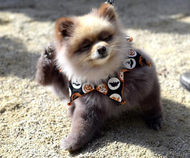 A dog in costume at a Halloween parade in New York (Photo credit should read TIMOTHY CLARY/AFP/Getty Images)