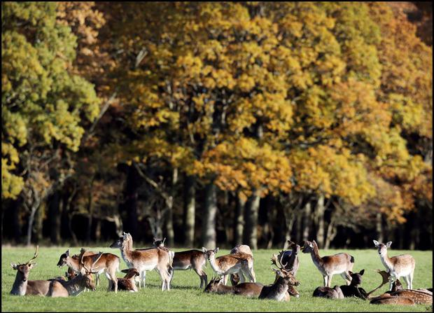 Deer gather in Dublin's Phoenix Park. (Photo: Steve Humphreys)