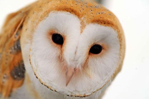 Bird species such as the barn owl are in dramatic decline