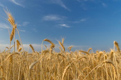 Larger harvests are set to swell wheat inventories