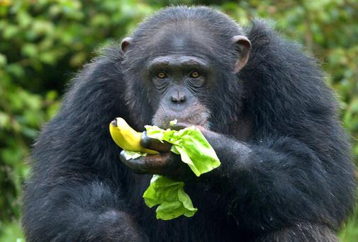US animal rights group the Nonhuman Rights Project in legal bid to free caged chimpanzees