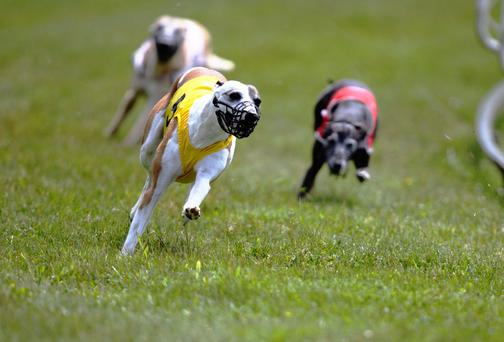 Ballymac Matt is one of the most promising young greyhounds in training and, following a brilliant display at Shelbourne in the past fortnight (Stock image)
