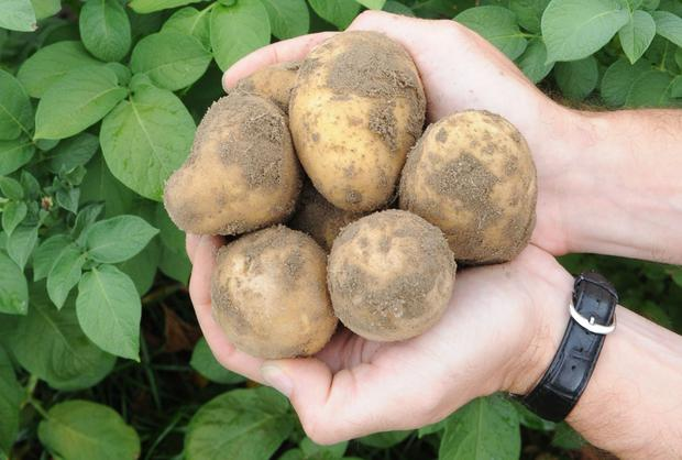 Potato producers find themselves selling at a tenth of the price they got last year.