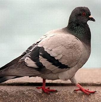 The Shankill man profiled by the NYT said he has to hunt and grill pigeons to live