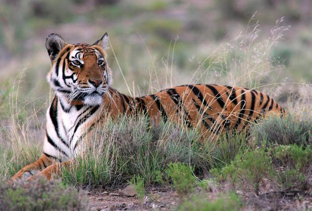 South China tiger mauls zookeeper to death - Independent ie