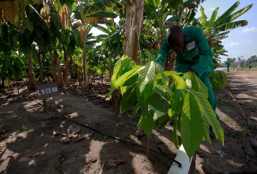 A man works at a cocoa plantation at the Zambakro Nestle Experimental Station in Yamoussoukro, central Ivory Coast.