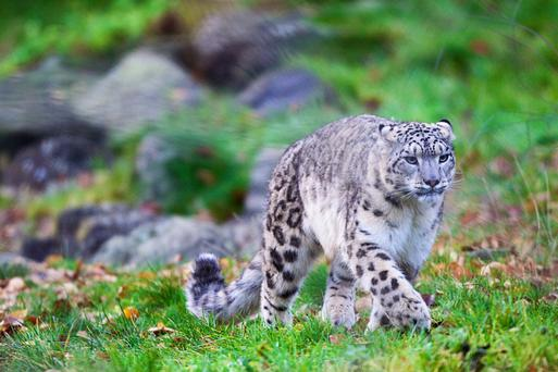 Snow Leopard in Need of a Name