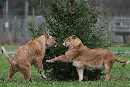 African lionesses Makalu and Libby play fight beside a meat decorated Christmas tree in the lion enclosure at the Blair Drummond Safari Park. PRESS ASSOCIATION Photo. Picture date: Tuesday December 24, 2013. The tree decorated by staff, was left over from the annual Christmas tree sale on the estate. Photo credit should read: Andrew Milligan/PA Wire